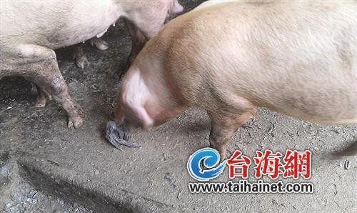两只猪的合照-同安一养猪场疑用死鸡喂猪 老板狡称是绿色食品