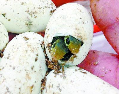 龙海市一枚草花蛇蛋产出双胞胎