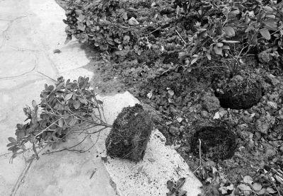 杜鹃花被连根拔起,好的植株甚至会被顺手牵羊
