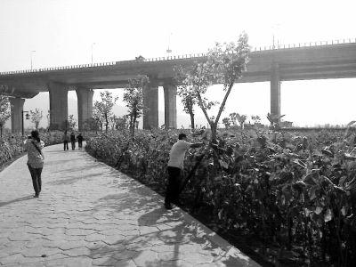 有市民晨练时在南江滨堤外公园发现避孕套,公园向日葵高大,如有人进入十分隐蔽
