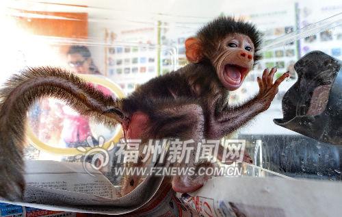 阿拉伯狒狒在保温箱内人工饲养