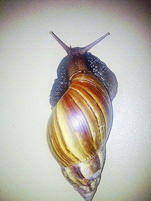 非洲大蜗牛是外来入侵物种