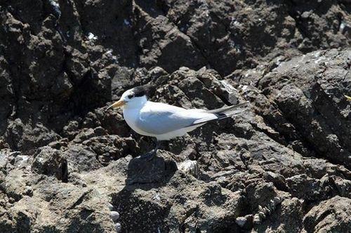 全世界仅50只的超稀有鸟类神话之鸟出现在马祖