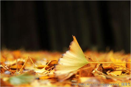 图示:顺昌宝山银杏 摄影:潘潘龙的博客