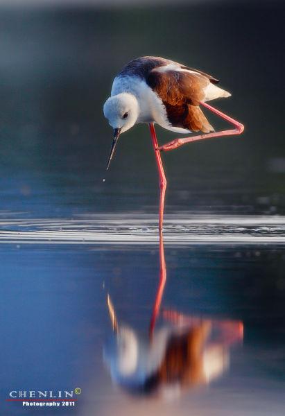 俯拍角度能记录下鸟类的水中倒影