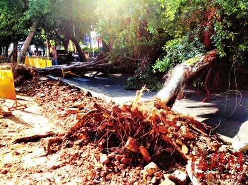 正在施工的鼓西路,两棵约10米高的大榕树轰然倒下