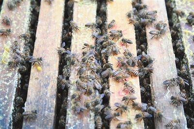 蜜蜂的养殖