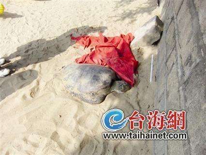导报记者赶到现场时,海龟已被带到岸边。