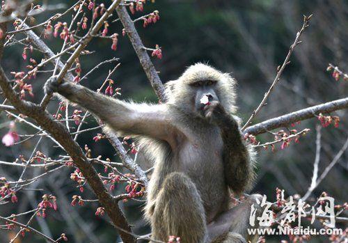 山樱树上的猴子正拈花微笑