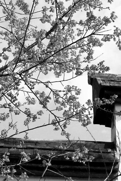 """网友""""清秋暮雨""""近期在金鸡山魏杰故居拍到的樱花"""