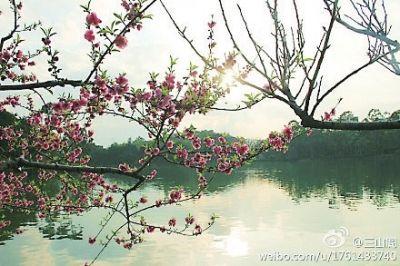 福州西湖公园,梅花开得正艳 图片:林衍柯先生