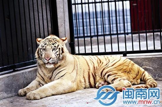 由于白老虎在杭州动物园是放养,身上的毛色有点脏,东湖动物园园长说,洗过就白了