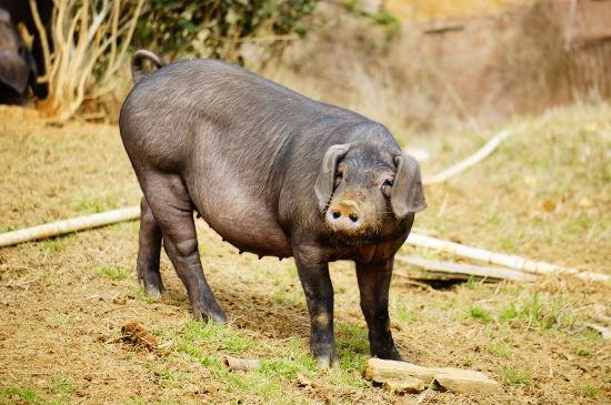 """""""乌状元""""黑猪"""