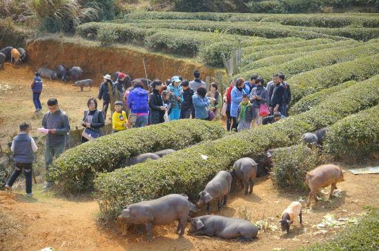 茶园间成群放养的黑猪