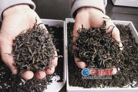 仿制岩茶(右)颜色偏青绿,而真岩茶(左)呈乌褐色