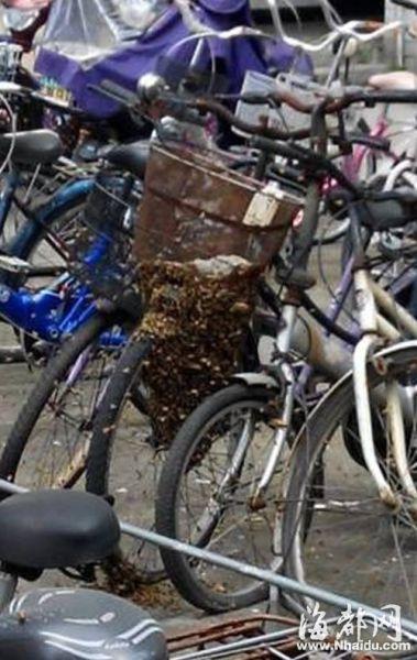 """蜜蜂在一辆旧自行车上筑起一个巨大的蜂巢图片由网友""""blue梦之初""""""""今日农大""""提供"""