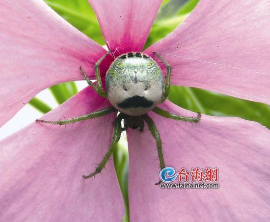 漳州有只蜘蛛长得酷似大叔