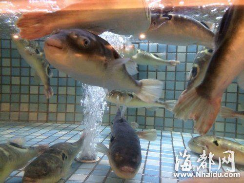 梅峰支路一家餐馆,一只河豚卖98元