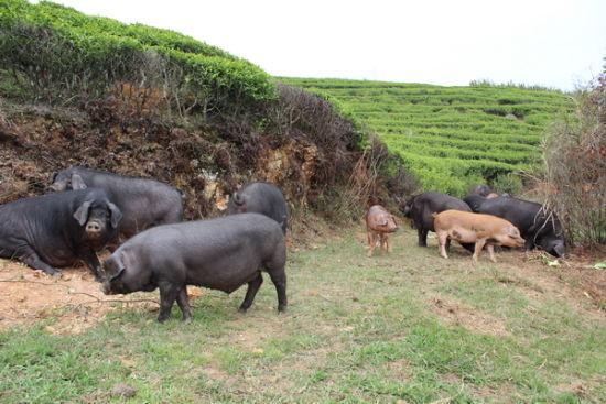 """会""""品""""茶的黑猪"""