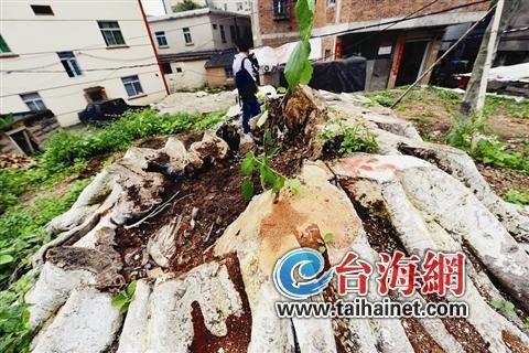 有村民称因倾斜欲倒就被绿化工人锯掉了