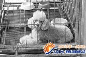 贵宾犬在主人不知情的情况下两次怀孕。记者 陈璐 摄