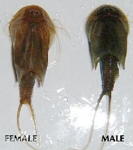 四川半虾半鱼生物