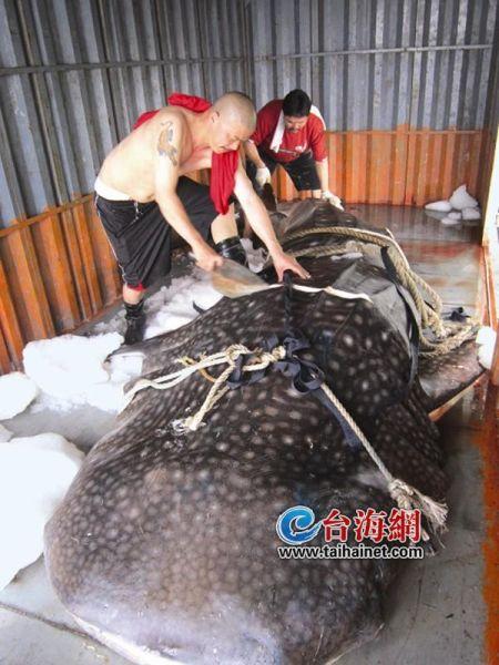 2吨重豆腐鲨惊现八市 两台起重机合力才能吊起