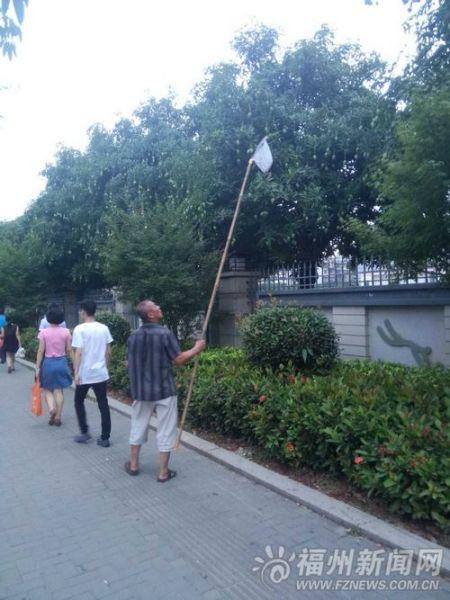 榕城路旁芒果树已挂满果实,不少市民开始在路边采摘芒果。