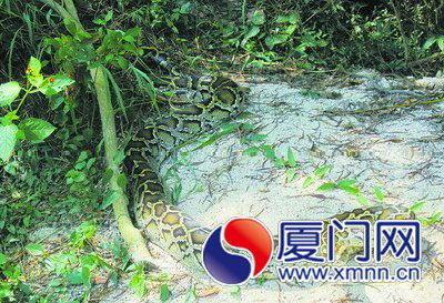 四米长母蟒蛇半夜出洞寻夫