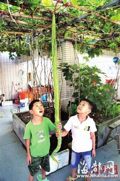 肖依伯家种的瓜,比老人的两个孙子个头都高