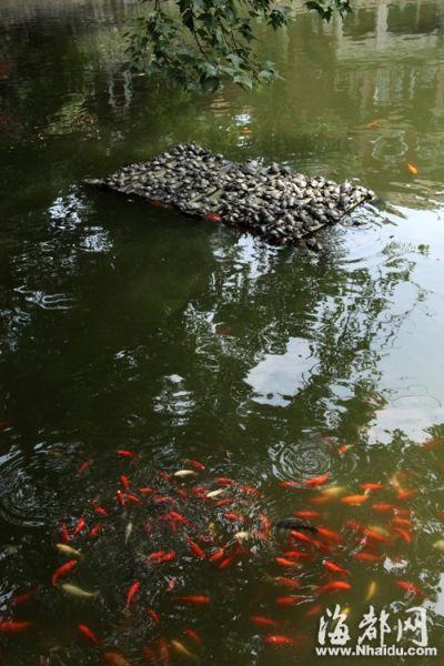中午时分天气闷热,福州涌泉寺放生池内,乌龟躲在阴凉处