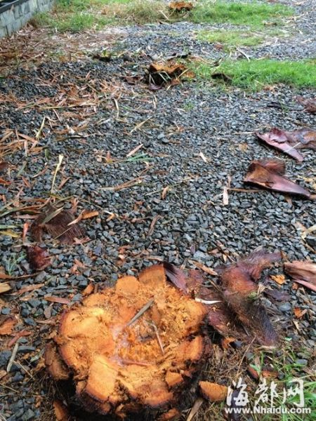 18棵棕榈树被砍,只剩树桩