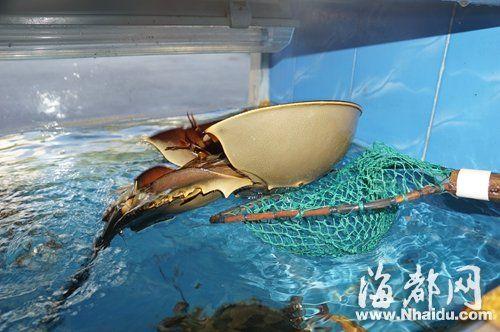 """仓山""""平潭海鲜店""""内,一只中华鲎摆在海鲜池售买"""