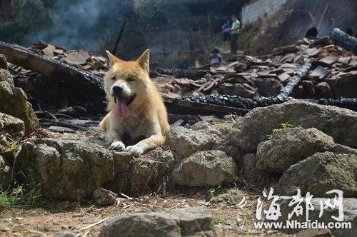 老黄狗趴在废墟上,一直不肯离开