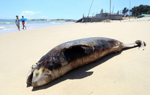 泉州石狮海滩现海豚尸体