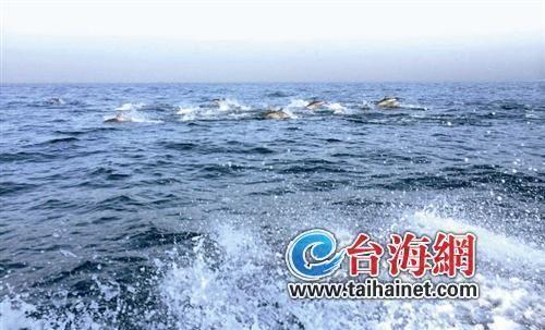 古雷海域数百只海豚集体捕食,场面壮观