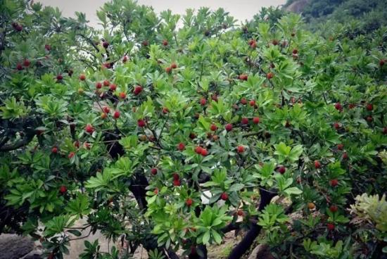 杨梅树由绿到红分了各个批次 这是杨梅最自然的状态