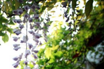福州的紫藤花