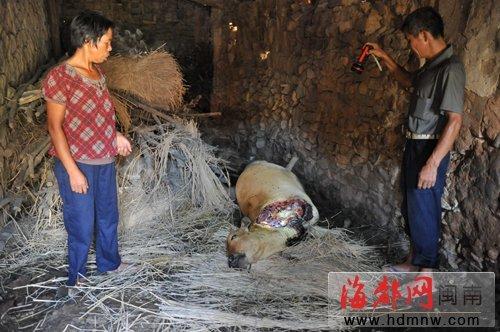 农户家里黄牛夜里被割走两腿惨死在牛棚(图)