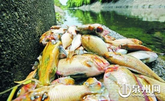 村民捞起成堆的死鱼