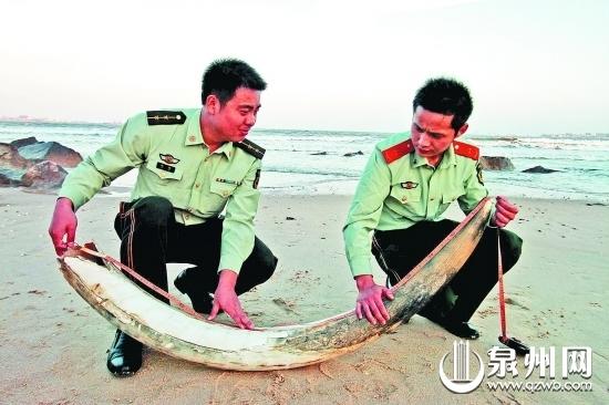 前日,本报11版报道了1.6米长、58斤重的象牙现身深沪湾衙口海滩,引起读者热议。深沪湾浮现出太多东西,为什么会这样呢,它还有什么神秘的面孔呢。是啊,它还有什么秘密呢?   昨日,记者走进深沪湾,了解它神秘的历史。   美丽的浮现与深沪湾的不解之缘   这些年来,太多的东西在深沪湾浮现,娓娓述说着它们与深沪湾的缘分。   1986年,广东省地震局研究员徐起浩在深沪湾看到海水退潮时,海滩上露出了一些黑色的树桩。取样鉴定,这些竟然是古油杉树桩,年代至少在距今7000年以上。同年,由大量牡蛎化石组成的