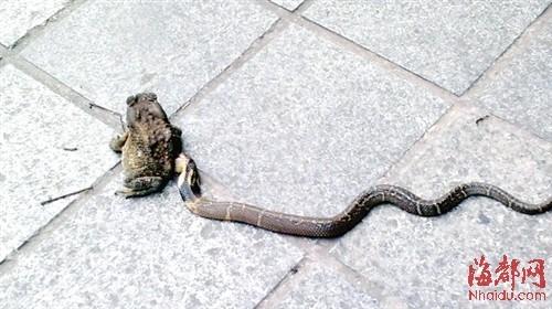 一条蛇正在吞食蛤蟆