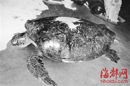 大海龟身长达1.4米