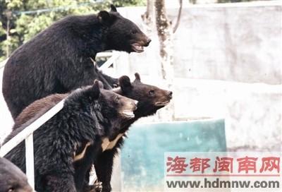 目前,基地共有400多头成年黑熊可供取胆。图为幼熊