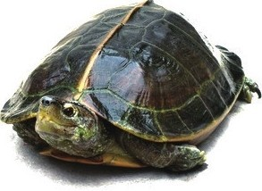 亚洲巨龟(资料图)