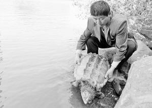 袁光树将鳄鱼龟放回九龙江。常海军 摄