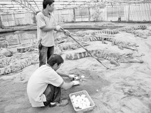工作人员在拾鳄鱼蛋。谢祯 摄