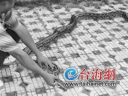 大蟒蛇4米多长、70多斤重,成年人大腿一般粗。