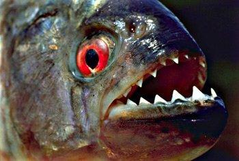 组图:揭秘十大恐怖恶魔鱼食人鱼性情凶残