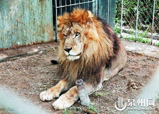 泉州棕毛狮或产下白狮 全球仅百余只